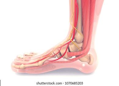 Anatomy of human foot 3d render
