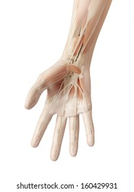 anatomy of the human hand