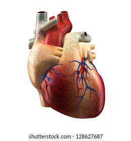 Anatomy of Human Heart - Isolated on white