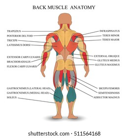 Anatomy of human muscles in the back, a template for medical tutorial, banner, illustration.