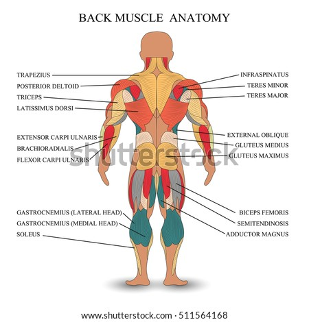 Royalty Free Stock Illustration of Anatomy Human Muscles Back ...