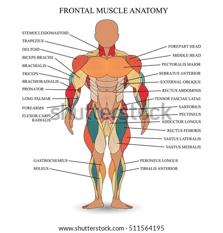 Anatomy Human Muscles Front Template Medical Stock Illustration