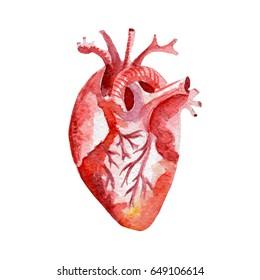Anatomy human organ heart illustration. Hand drawn watercolor on white background.