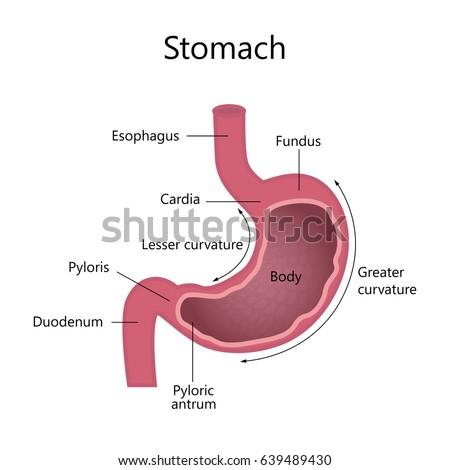 Anatomy Human Stomach Internal Structure Stock Illustration