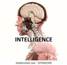 "Anatomy illustration of the human brain titled ""Intelligence"". 3D illustration"