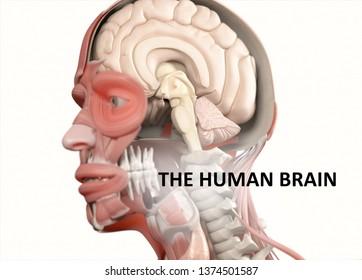 "Anatomy illustration titled ""The human brain"". 3D illustration"