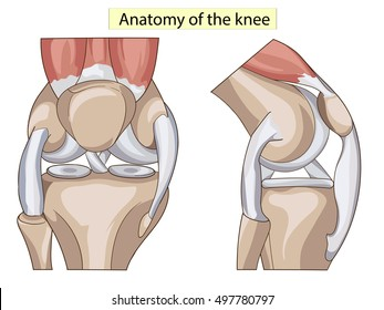 anatomy knee joint cross section showing the major parts which made the knee joint for