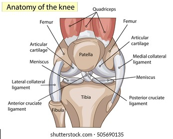 Anatomy. Knee Joint Cross Section Showing the major parts which made the knee joint For Basic Medical Education Also for clinics