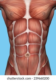 Anatomy of male chest and torso featuring major muscular groups including the sternocostal, rectus abdominis, pectoralis major, serratus anterior and latissimus dorsi.