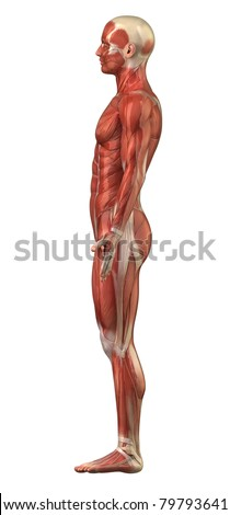 Royalty Free Stock Illustration of Anatomy Man Muscular System ...
