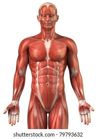 Anatomy of man muscular system upper half - anterior view