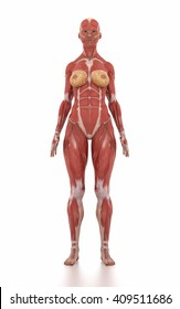 Anatomy muscle map white isolated