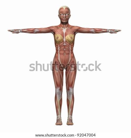 Anatomy Muscles Body Woman Stock Illustration 92047004 Shutterstock