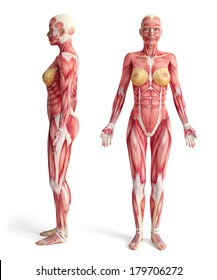 anatomy of muscular system - front and side view, female version