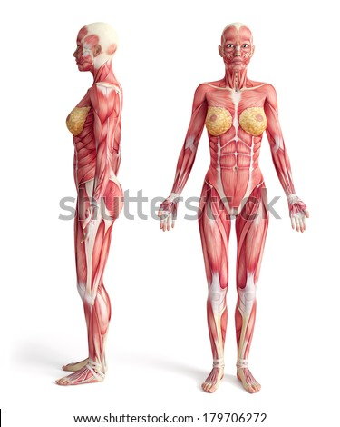 Royalty Free Stock Illustration of Anatomy Muscular System Front ...