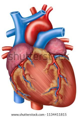 Anatomy Physiology Human Heart Illustration Stock Illustration