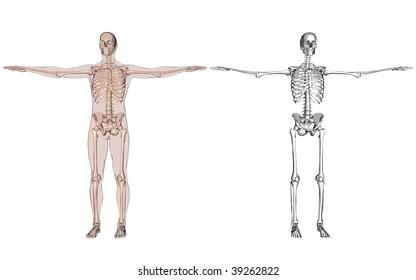 anatomy and skeleton