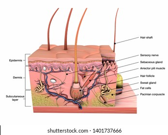 Anatomy of Skin Labeled, 3D Rendering