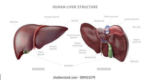 Hepatic Vein Images, Stock Photos & Vectors | Shutterstock