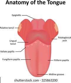 Tongue Anatomy Images  Stock Photos   Vectors   Shutterstock