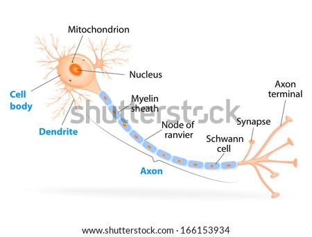 Synapse plural