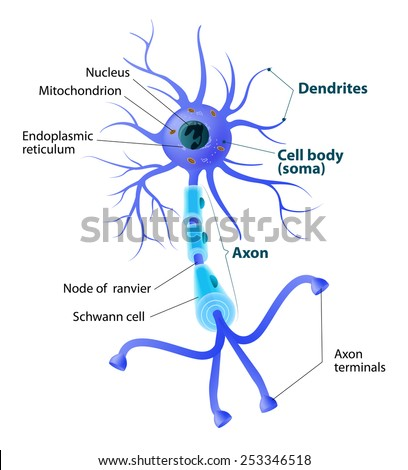 Anatomy Typical Human Neuron Structure Neuron Stock Illustration ...