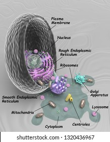 Animal cell with cytoplasm and organelles pouring out, the organelles are labeled, 3d rendering