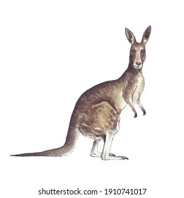 Animal Illustration: Kangaroo. Watercolor, isolated, hand painted.