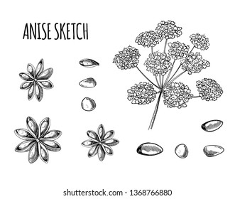 Anise Sketch, Hand Drawn Plant Illustration Isolated on White Background, Black Outline Drawings.