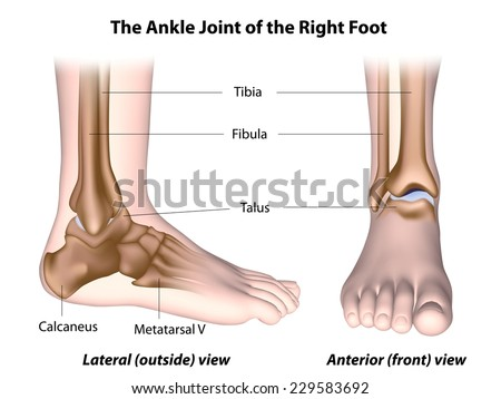 Royalty Free Stock Illustration Of Ankle Joint Anatomy Labeled Stock