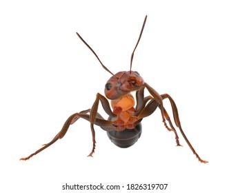 Ant 3D illustration on white background
