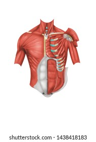 Anterior anatomical view of the chest muscle