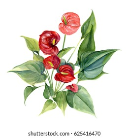 Anthurium. Watercolor hand drawing illustration isolated