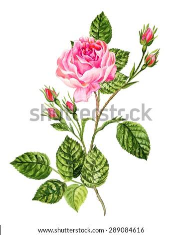 Royalty Free Stock Illustration Of Antique Botanical Drawing Vintage