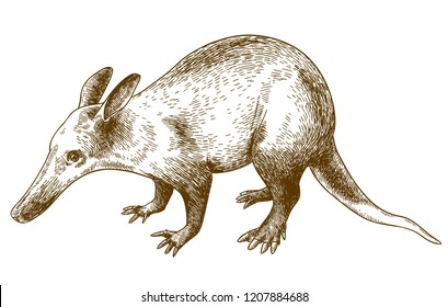 antique engraving drawing illustration of aardvark isolated on white background
