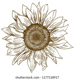 antique engraving drawing illustration of big sunflower isolated on white background