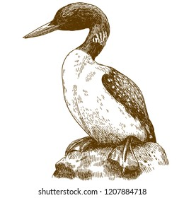 antique engraving drawing illustration of great northern loon isolated on white background