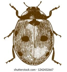antique engraving drawing illustration of ladybug or ladybird (coccinellidae) isolated on white background