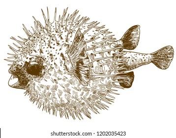 antique engraving drawing illustration of porcupinefish blowfish isolated on white background