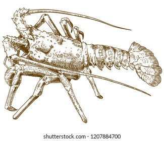 antique engraving drawing illustration of rock lobster isolated on white background