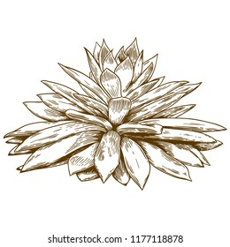 antique engraving drawing illustration of succulent echeveria isolated on white background