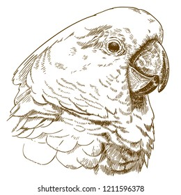 antique engraving drawing illustration of  white cockatoo head isolated on white background