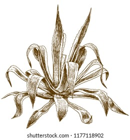 antique engraving illustration of agave isolated on white background