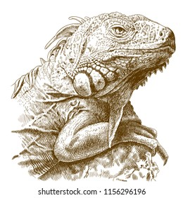 antique engraving illustration of iguana head isolated on white background