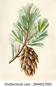 Antique illustration of fruit isolated background