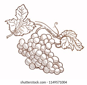 Antique illustration of grapes
