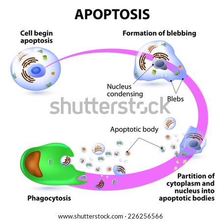 apoptosis process programmed cell deathのイラスト素材 226256566