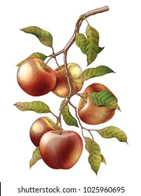 Apple branch hand drawing vintage engraving illustration isolate on white background