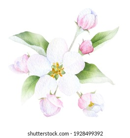 Apple inflorescence with flower, buds and leaves hand drawn in watercolor isolated on a white background. Watercolor illustration. Apple blossom