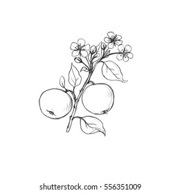 apple tree branch with fruits, leaves, buds and flowers drawing by graphite pencil,isolated hand drawn elements